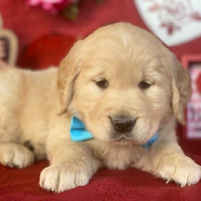 Ty - puppy ACA Golden Retriever for sale at Christiana, Pennsylvania