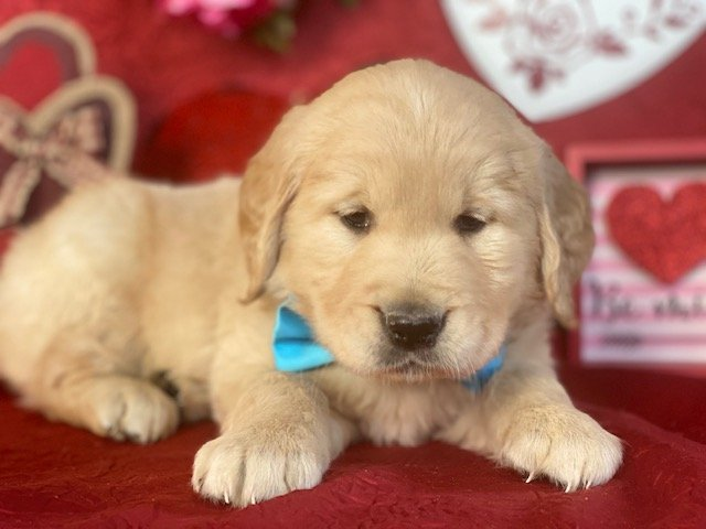 Ty - puppy ACA Golden Retriever for sale at Christiana, Pennsylvania