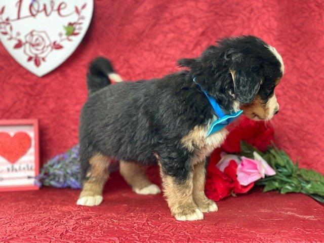 Moose - Bernese Mountain Dog for sale near Delta, Pennsylvania
