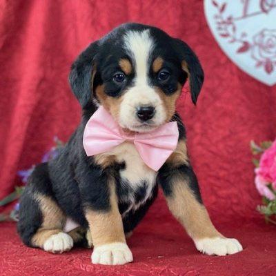Bree - Bernese mt dog for sale in Delta, Pennsylvania