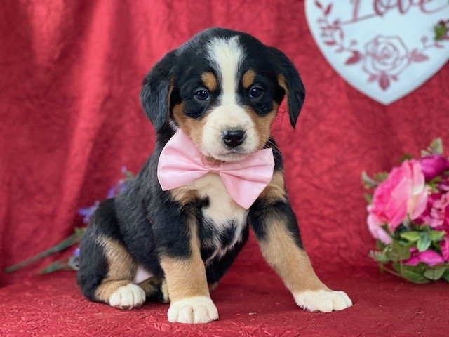 Bree - Bernese mt dog for sale in Delta, Pennsylvania