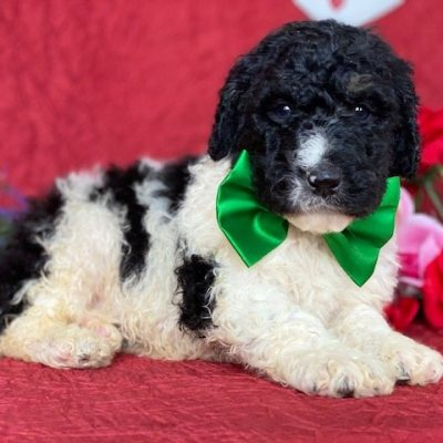 Barkley - Bernedoodle male puppy for sale near Christiana, Pennsylvania