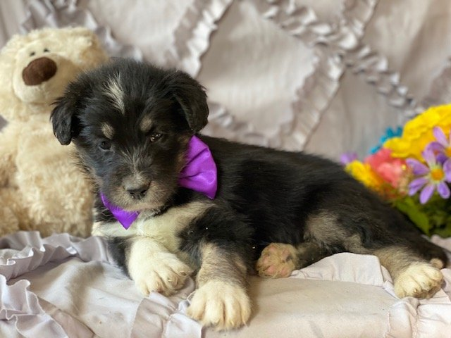 Huskipoo puppy for sale in Kirkwood, Pennsylvania