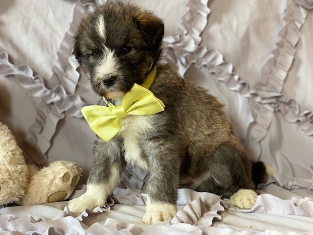 Huskipoo puppy for sale