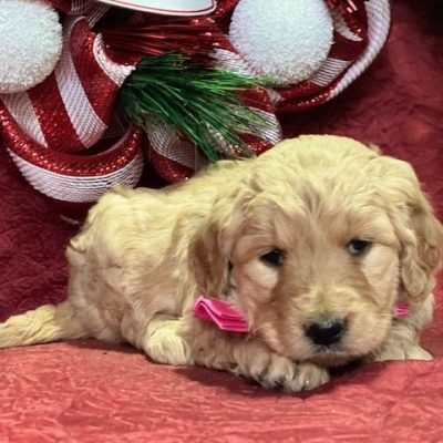 Freda - puppy Goldendoodle female for sale at Oxford, Pennsylvania