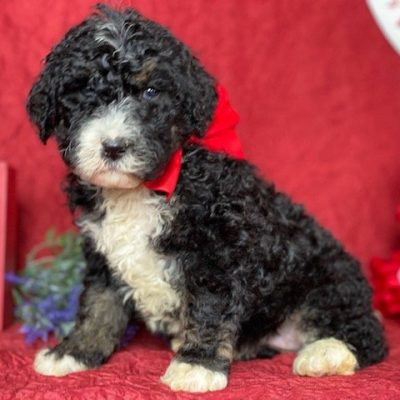 Stella - female pup Bernedoodle for sale