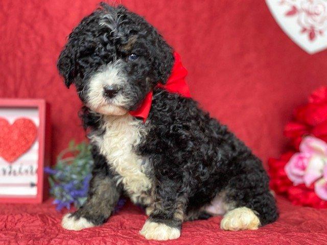 Stella - female pup Bernedoodle for sale