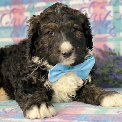 Abel - Bernedoodle pupper for sale in Honeybrook, Pennsylvania