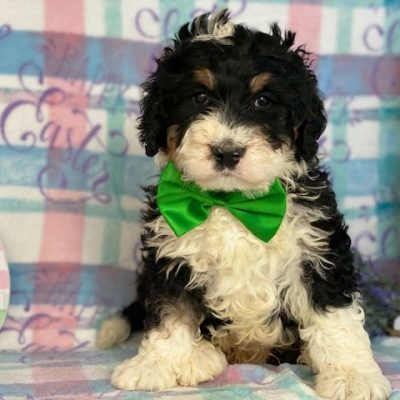 Bernard - Bernedoodle doggie for sale at Honeybrook, Pennsylvania