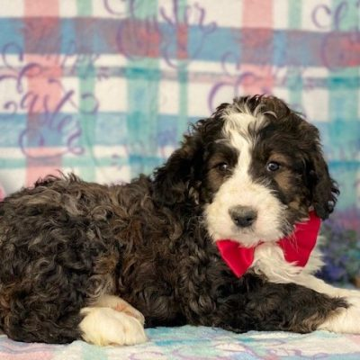 Bernedoodle - puppy Bernedoodle for sale near Honeybrook, Pennsylvania