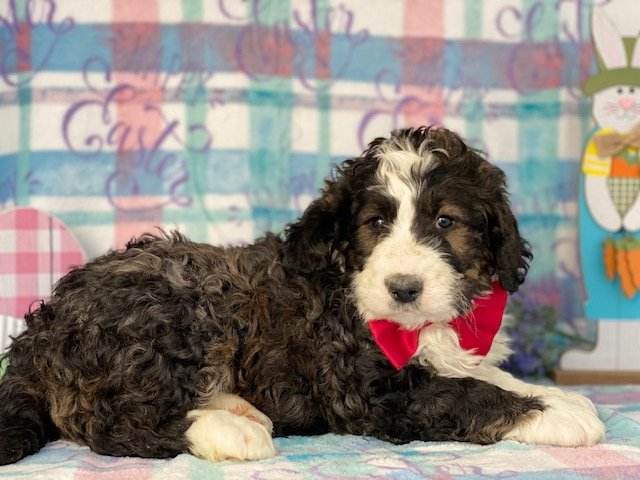 Bernedoodle - puppy Bernedoodle for sale near Honeybrook, Pennsylvania