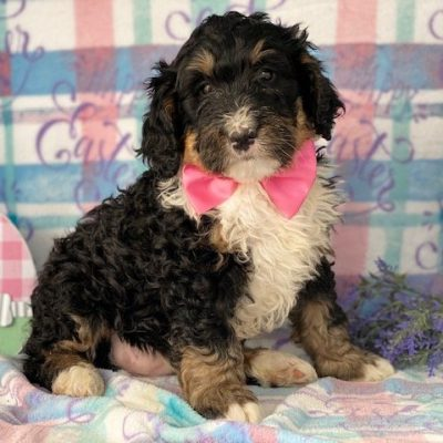 Arielle - female Bernedoodle pup for sale near Honeybrook, Pennsylvania