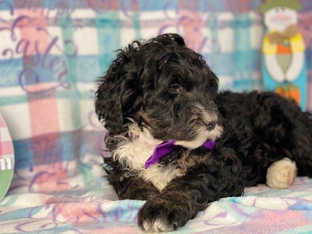 Josie - Bernedoodle pupper for sale in Honeybrook, Pennsylvania