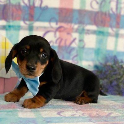 Felix - Mini Dachshund male pup for sale at Honeybrook, Pennsylvania