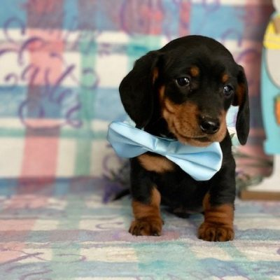Felix - Mini Daschund pupper for sale