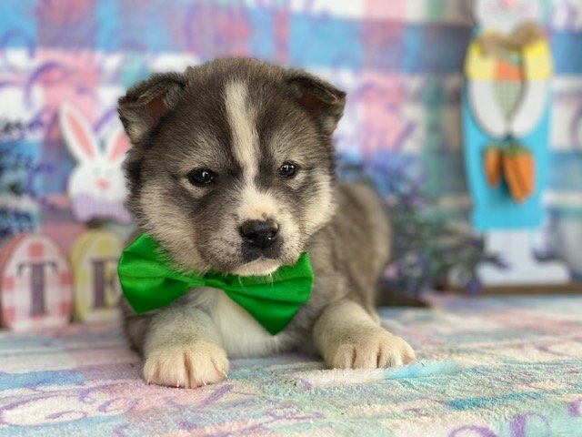 Edge - Labskie puppy for sale in Lincoln University, Pennsylvania