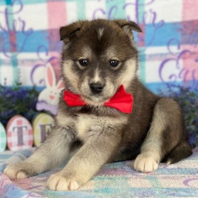 Reva - Labskie puppy for sale in Lincoln University, Pennsylvania