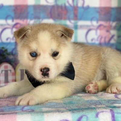 Storm - Labskie pup for sale at Lincoln University, Pennsylvania