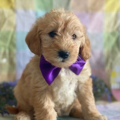 Penny - female F1 Mini Labradoodle puppie for sale in Kirkwood, Pennsylvania