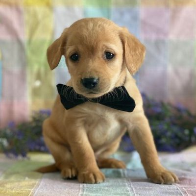 F1 Mini Labradoodle puppy for sale in Kirkwood, Pennsylvania