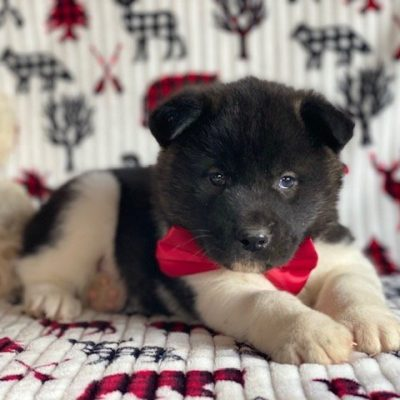 Yoshi - male Akita puppy for sale in Oxford, Pennsylvania