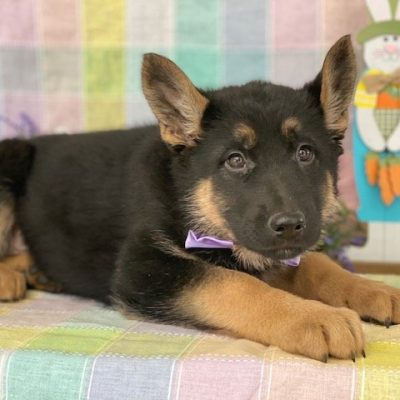 Fritzi - German Shepherd puppy for sale at Peachbottom, Pennsylvania