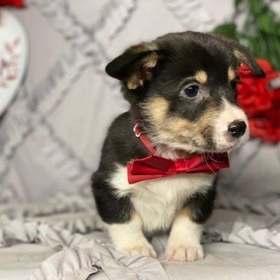 Charlie - ACA Pembroke Welsh Corgi pup for sale in Delta, Pennsylvania