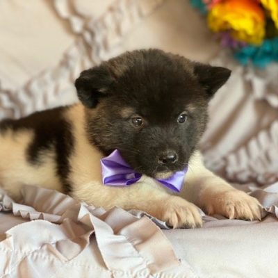 Yoko - female Akita puppie for sale at Oxford, Pennsylvania