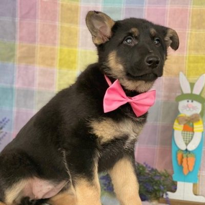 Heidi - German Shepherd pup for sale near Peachbottom, Pennsylvania