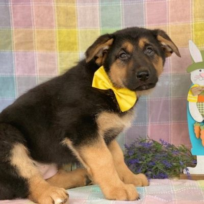 Trixie - German Shepherd pupper for sale in Peachbottom, Pennsylvania