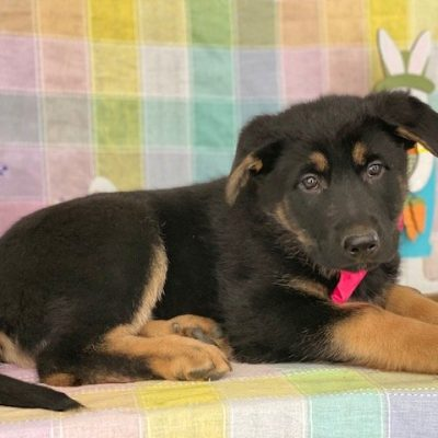 Beatrix - female German Shepherd puppie for sale at Peachbottom, Pennsylvania