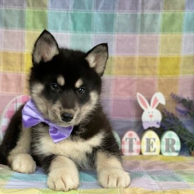 Mya - female Husky doggie for sale at Delta, Pennsylvania