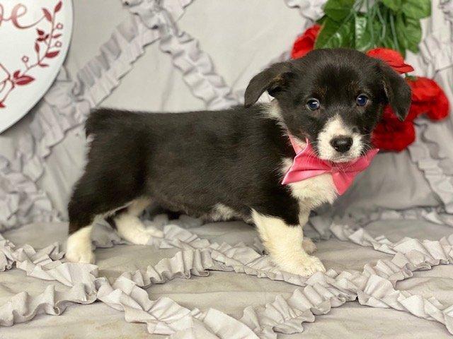 Phoebe - doggie ACA Pembroke Welsh Corgi for sale in Delta, Pennsylvania