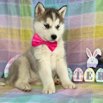 Nala - Husky puppie for sale in Delta, Pennsylvania