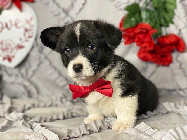 Elf - ACA Pembroke Welsh Corgi puppie for sale near Delta, Pennsylvania