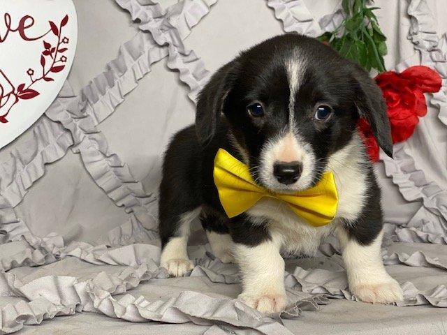 Ellie - ACA Pembroke Welsh Corgi puppy for sale in Delta, Pennsylvania