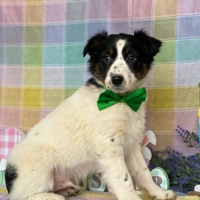 Charlie - puppy Australian Shepherd for sale in Delta, Pennsylvania
