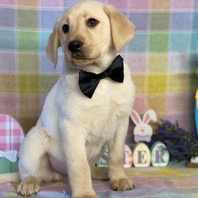 Chester - ACA Labradrador Retriever doggie for sale at Delta, Pennsylvania