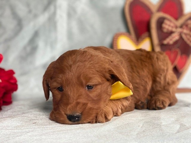 Ruby - Mini Goldendoodle puppy for sale near Gap, Pennsylvania