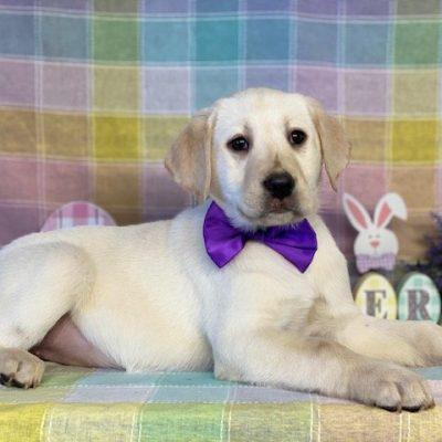 Sadie - ACA Labradrador Retriever doggie for sale at Delta, Pennsylvania