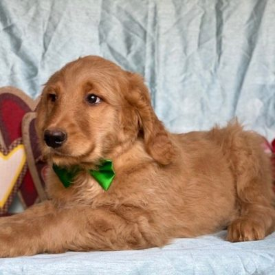 Biscuit - Goldendoodle doggie for sale in Oxford, Pennsylvania