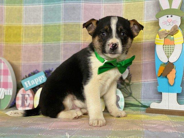 Guy - Blue Heeler Mix pup for sale at Delta, Pennsylvania