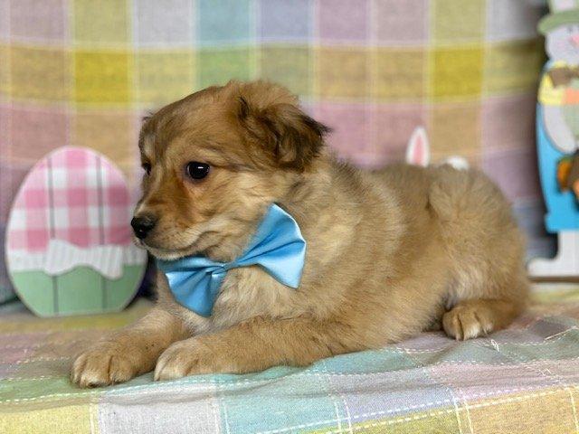 Harry - Pomeranian mix male pup for sale near Delta, Pennsylvania