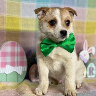 Bugs - puppy Pomeranian mix for sale at Delta, Pennsylvania