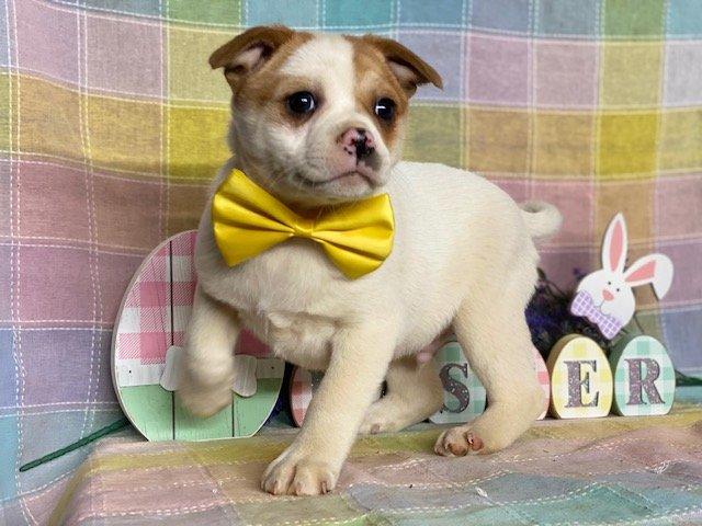 Baloo - Pomeranian mix puppie for sale near Delta, Pennsylvania