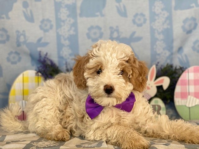 Bichpoo doggie for sale