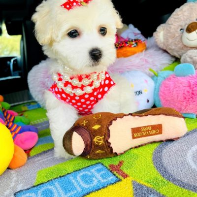 PolkaDoll - CKC Maltipoo female pup for sale at Hudson, Texas