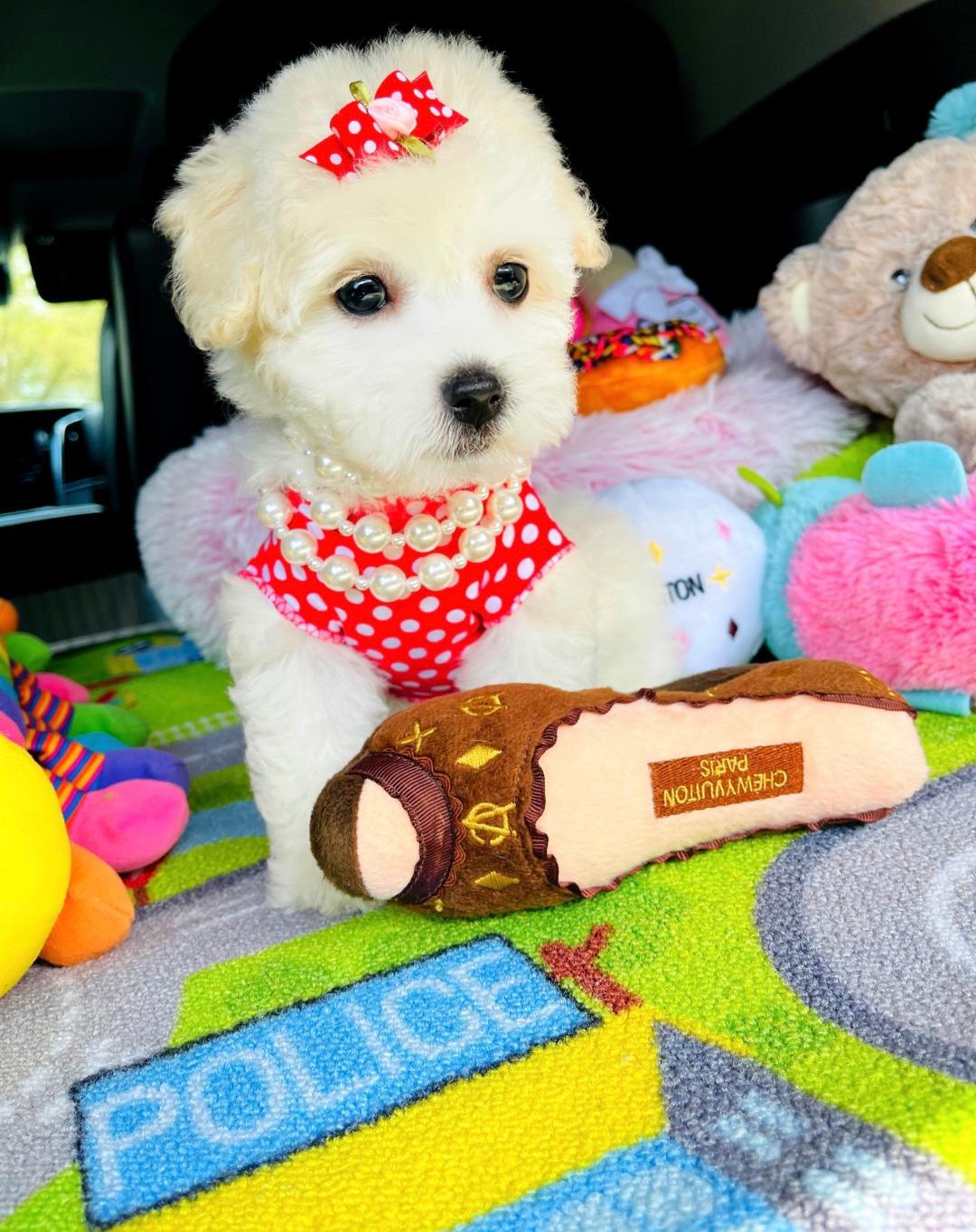 PolkaDoll - CKC Maltipoo female pup for sale at Hudson, Texas