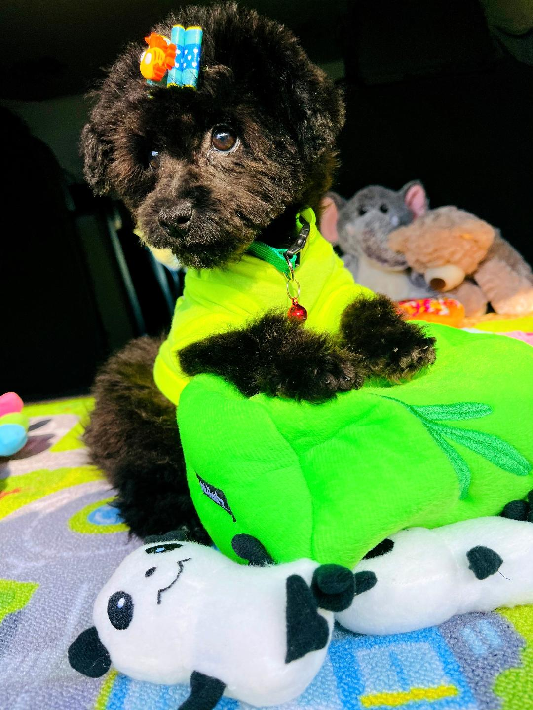 LuckyBear -Adorable Teddy Bear Face Male Maltipoo