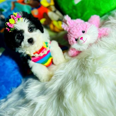 PandaDoll -Precious Black and White Female Maltipoo ready!